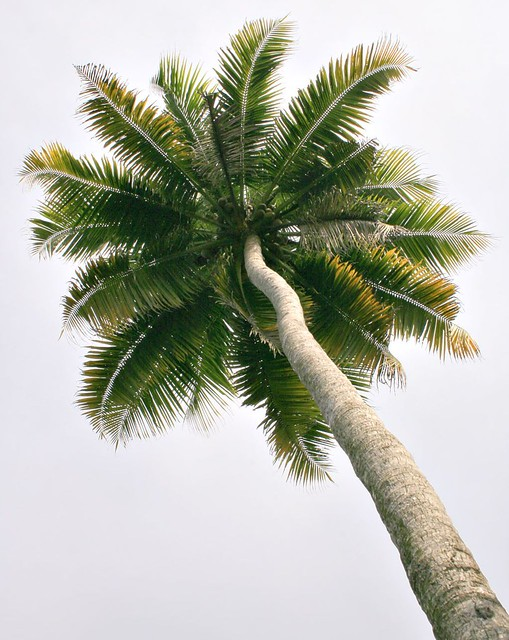 A coconut tree (palm tree)