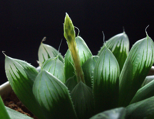 Haworthia - Backlight