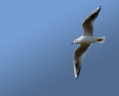 another sea gull