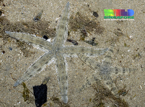 Common sea stars (Archaster typicus)