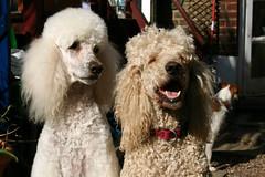 toy poodle, miniature poodle, standard poodle, dog breed, animal, dog, pet, mammal, poodle crossbreed, poodle,
