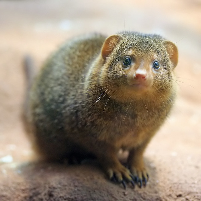 Dwarf Mongoose Flickr Photo Sharing