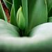 Small photo of Tiptoe Through the Tulips