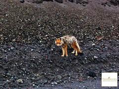 Fox Cotopaxi