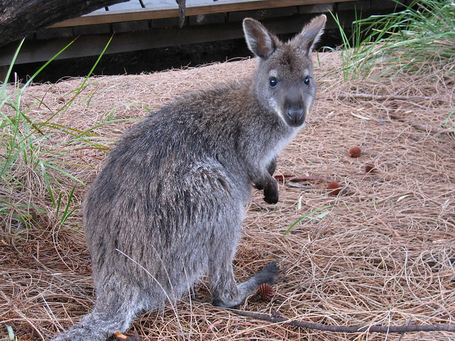 Wallaby at Freycinet National Park