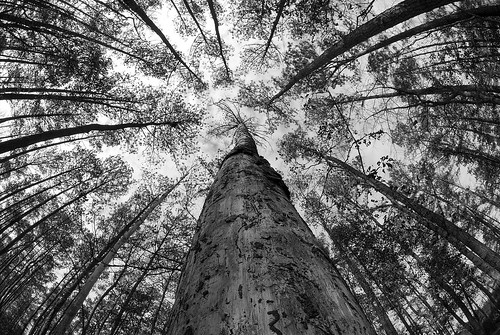 sky bw tree georgia perspective fisheye pines lightning ocfd abigfave p1f1 cotcbestof2006 impressedbeauty isawyoufirst twtmesh120741 alemdagqualityonlyclub 100earthcomments