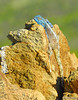 "<a href=""http://www.flickr.com/photos/martin_heigan/364418088/"">Photo of Agama atra by Martin Heigan</a>"
