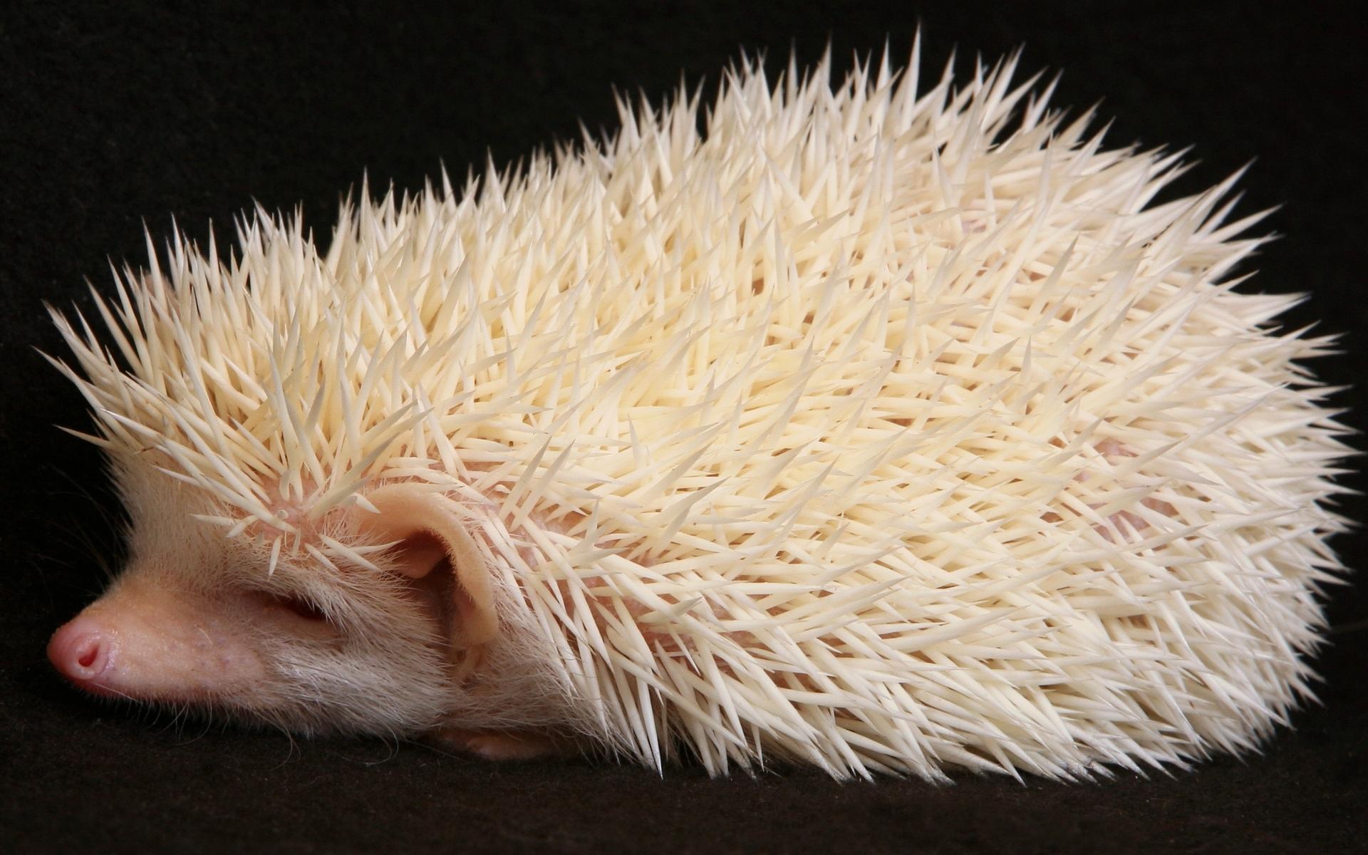 African Pygmy Hedgehog Albino wallpaper - 86052