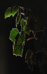 Kirlian Leaves?