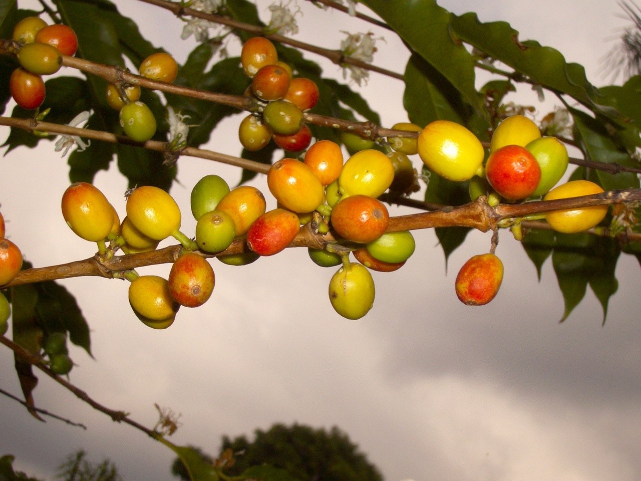 Kona's coffee beans