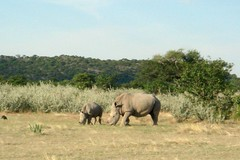 animal, plain, herd, grazing, rhinoceros, fauna, savanna, grassland, safari, wildlife,