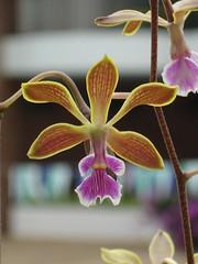 cattleya labiata(0.0), plant(0.0), macro photography(0.0), cattleya trianae(0.0), flower(1.0), yellow(1.0), laelia(1.0), phalaenopsis equestris(1.0), flora(1.0), plant stem(1.0), petal(1.0),