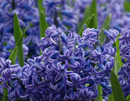 ヒアシンス/Hyacinthus orientalis