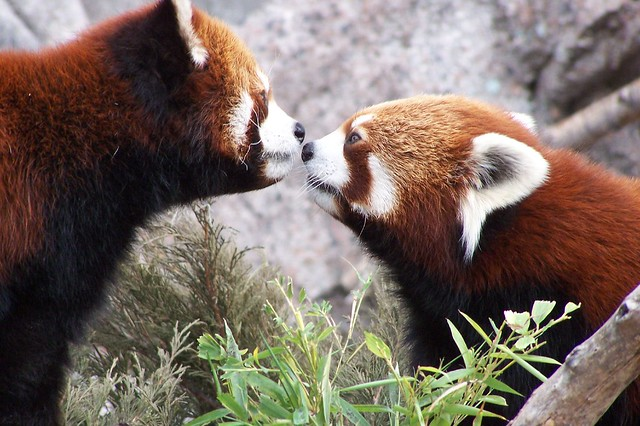 Red Pandas Nose to Nose