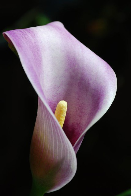 calla lily flickr photo sharing. Black Bedroom Furniture Sets. Home Design Ideas