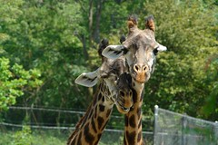 animal, zoo, giraffe, fauna, giraffidae, safari, wildlife,
