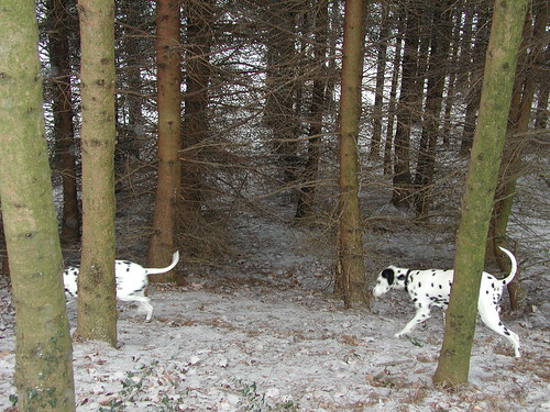 pets amanda dogs 2004 animals austria all realestate outdoor alive winterwonderland styria l3 dalmatians jerrylee krumegg hohenegg r8323 soloanimals all:realestate=object all:realestate=scene r8323:scene=winterwonderland all:realestate=own
