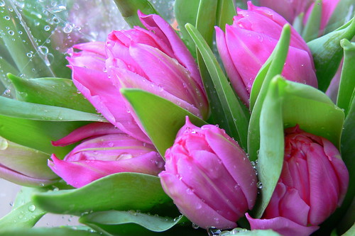 Spring Tulips by Corbeau du Nord