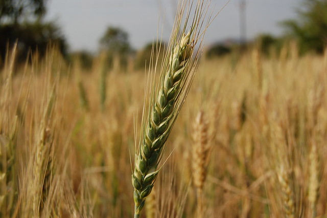 The wheat stalk | Flickr - Photo Sharing!