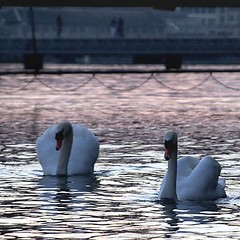 Swans on the Lake at Dusk, Geneva