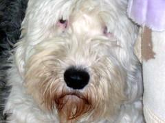poodle crossbreed(0.0), spinone italiano(0.0), wire hair fox terrier(0.0), dandie dinmont terrier(0.0), dog breed(1.0), animal(1.0), dog(1.0), schnoodle(1.0), petit basset griffon vendã©en(1.0), pet(1.0), lã¶wchen(1.0), polish lowland sheepdog(1.0), tibetan terrier(1.0), glen of imaal terrier(1.0), old english sheepdog(1.0), catalan sheepdog(1.0), sapsali(1.0), irish soft-coated wheaten terrier(1.0), bearded collie(1.0), goldendoodle(1.0), west highland white terrier(1.0), carnivoran(1.0), terrier(1.0),