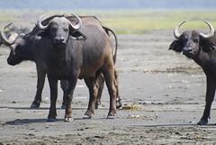 African buffalo herd, Lake Nakuru National Park, Kenya