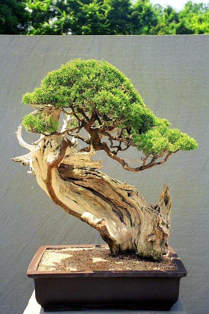 1000+ images about bonsai on Pinterest | Bonsai trees ...
