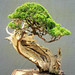 Upright Literati Juniper Bonsai, Washington, DC