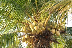 arecales, borassus flabellifer, coconut, palm family, branch, tree, produce, fruit, food, elaeis,