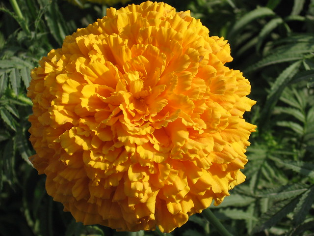Genda Flower Flickr Photo Sharing