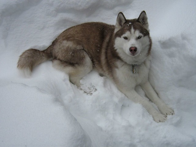 Scarlet the Siberian Husky Enjoying the Denver Blizzard of 2006.