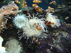 coral reef, animal, anemone fish, coral, fish, coral reef fish, organism, marine biology, fauna, underwater, reef, sea anemone, aquarium,