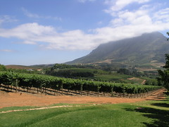 Looking towards the Simonsberg from Delaire vineyard