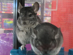 animal, rodent, pet, degu, whiskers, chinchilla,