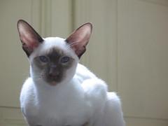 peterbald(0.0), khao manee(0.0), burmilla(0.0), snowshoe(0.0), birman(0.0), devon rex(0.0), domestic short-haired cat(0.0), animal(1.0), siamese(1.0), small to medium-sized cats(1.0), pet(1.0), oriental shorthair(1.0), javanese(1.0), thai(1.0), tonkinese(1.0), cat(1.0), burmese(1.0), carnivoran(1.0), whiskers(1.0), balinese(1.0),