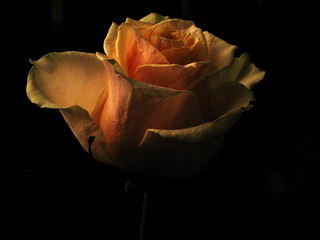 Rose at night
