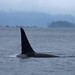 Orcas-Northern Residents