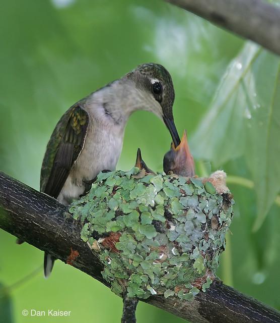 Ruby throated hummingbird baby - photo#5