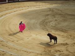 cattle-like mammal, bull, soil, sand, bullring, matador, bullfighting,