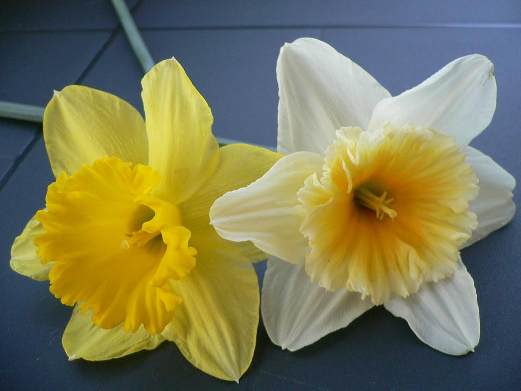 Подарок цветок нарцисс 30