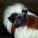 Cotton Topped Tamarin... by Paul Pagano