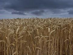 dark skies and wheat fields