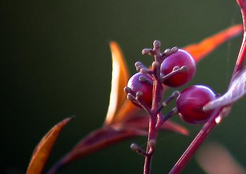macro closeup berries bokeh landscaping 5 decorative highstreet