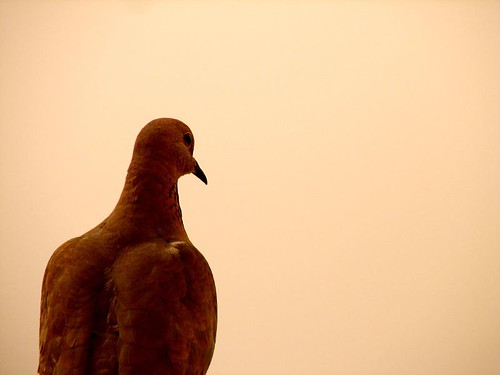 Doom's Day Pigeon