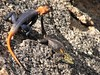"<a href=""http://www.flickr.com/photos/merula/432625727/"">Photo of Agama planiceps by Alastair Rae</a>"