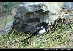 animal, fauna, beak, eurasian magpie, bird, crow-like bird, wildlife,