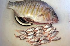 animal, fish, fish, red seabream,