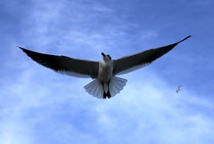 animal, charadriiformes, wing, gull, sky, bird, flight, seabird,