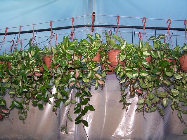 Hoya spp rare hoyas  Epiphyticacom