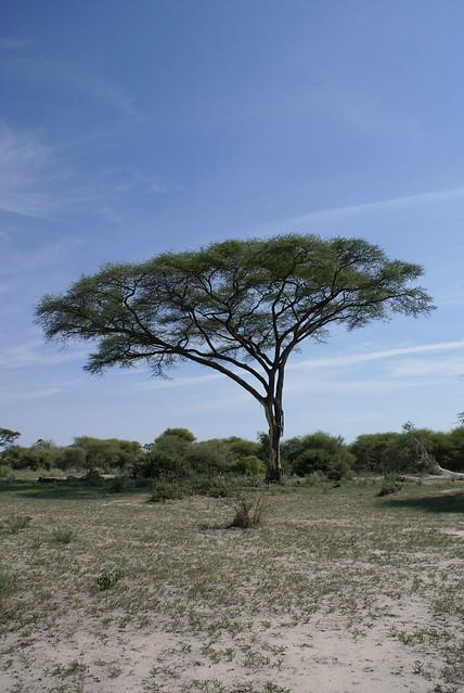 Umbrella Acacia trees at sunrise at Serengeti National Park, Tanzania